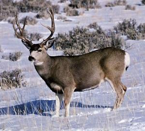 Happy Mule Deer!